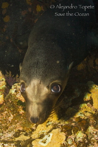 Baby Sea Lion, La Paz Mexico by Alejandro Topete